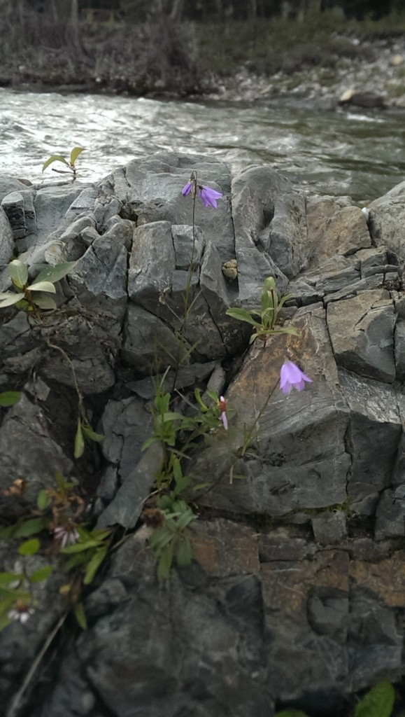 Even in ROCKY terrain there is life. Bragg Creek flower finding its way amid the rocky struggle.